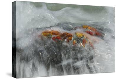 Surf Washing over Sally Lightfoot Crabs, Grapsus Grapsus, on a Rock-Tim Laman-Stretched Canvas Print