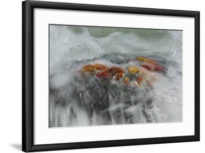 Surf Washing over Sally Lightfoot Crabs, Grapsus Grapsus, on a Rock-Tim Laman-Framed Photographic Print