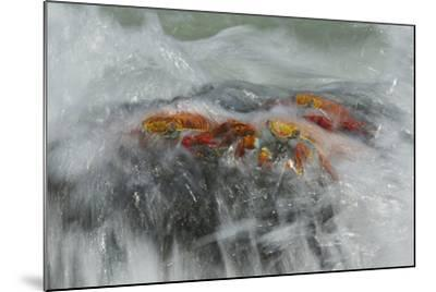 Surf Washing over Sally Lightfoot Crabs, Grapsus Grapsus, on a Rock-Tim Laman-Mounted Photographic Print