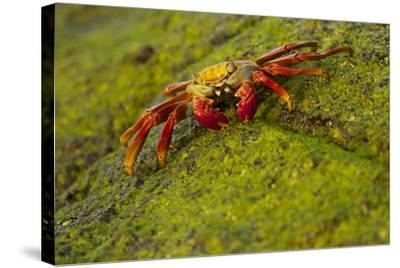 Portrait of a Sally Lightfoot Crab, Grapsus Grapsus, on an Algae Covered Rock-Tim Laman-Stretched Canvas Print
