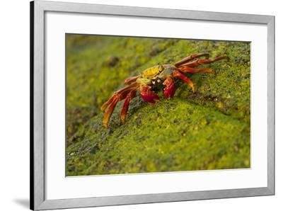 Portrait of a Sally Lightfoot Crab, Grapsus Grapsus, on an Algae Covered Rock-Tim Laman-Framed Photographic Print