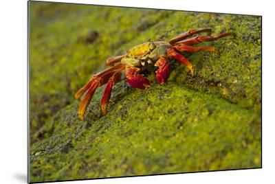 Portrait of a Sally Lightfoot Crab, Grapsus Grapsus, on an Algae Covered Rock-Tim Laman-Mounted Photographic Print