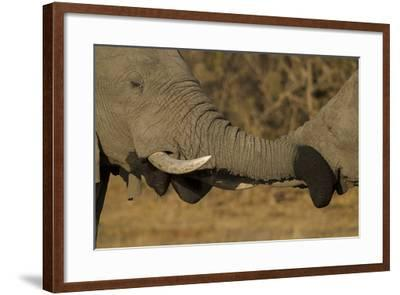Close Up of Two Young African Elephants with their Trunks Wrapped Together-Beverly Joubert-Framed Photographic Print