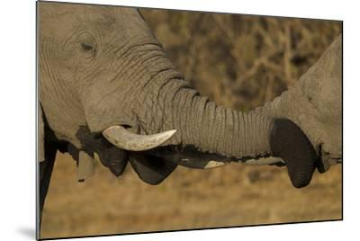 Close Up of Two Young African Elephants with their Trunks Wrapped Together-Beverly Joubert-Mounted Photographic Print