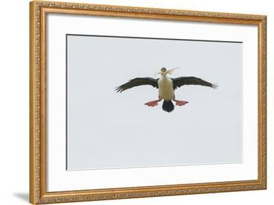 A Blue Eyed Shag, also known as an Imperial Shag, Carries Nest Building Materials in its Beak-Tom Murphy-Framed Photographic Print