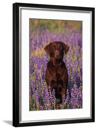 Portrait of a Pet Chocolate Labrador Retriever in a Field of Purple Wildflowers-John Cancalosi-Framed Photographic Print