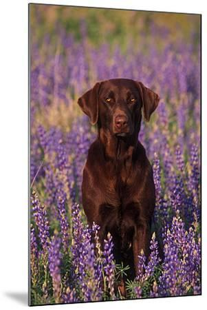 Portrait of a Pet Chocolate Labrador Retriever in a Field of Purple Wildflowers-John Cancalosi-Mounted Photographic Print