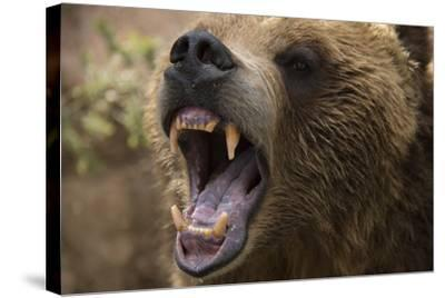 A Grizzly Bear Snarling at the Cheyenne Mountain Zoo-Joel Sartore-Stretched Canvas Print