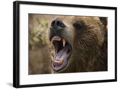 A Grizzly Bear Snarling at the Cheyenne Mountain Zoo-Joel Sartore-Framed Photographic Print