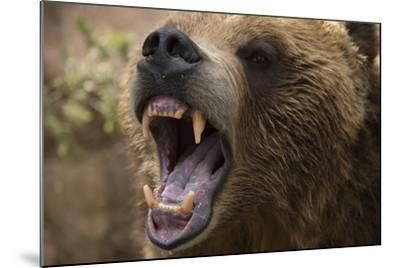 A Grizzly Bear Snarling at the Cheyenne Mountain Zoo-Joel Sartore-Mounted Photographic Print