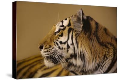An Endangered Amur Tiger, Panthera Tigris Altaica-Joel Sartore-Stretched Canvas Print
