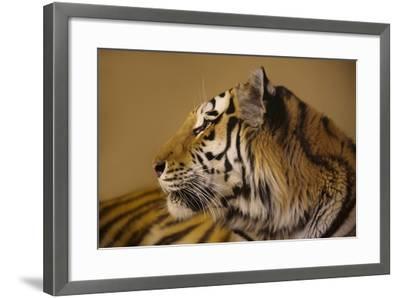 An Endangered Amur Tiger, Panthera Tigris Altaica-Joel Sartore-Framed Photographic Print