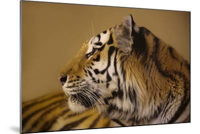 An Endangered Amur Tiger, Panthera Tigris Altaica-Joel Sartore-Mounted Photographic Print