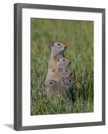 Uinta Ground Squirrels are Common Rodents in the Dry Meadows of Northern Yellowstone-Tom Murphy-Framed Photographic Print