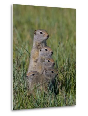 Uinta Ground Squirrels are Common Rodents in the Dry Meadows of Northern Yellowstone-Tom Murphy-Metal Print
