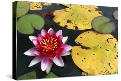 Water Lily-Tobias Hase-Stretched Canvas Print