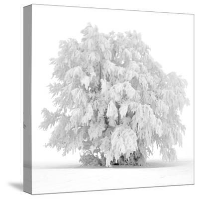 Not just white-Philippe Sainte-Laudy-Stretched Canvas Print