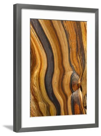 USA, California, Inyo National Forest. Patterns in a bristlecone pine.-Don Paulson-Framed Photographic Print