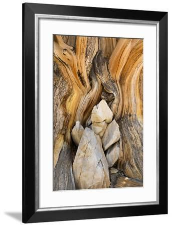 USA, California, Inyo NF. Patterns in bristlecone pine wood.-Don Paulson-Framed Photographic Print