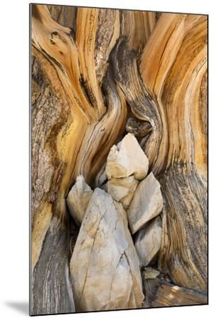 USA, California, Inyo NF. Patterns in bristlecone pine wood.-Don Paulson-Mounted Photographic Print