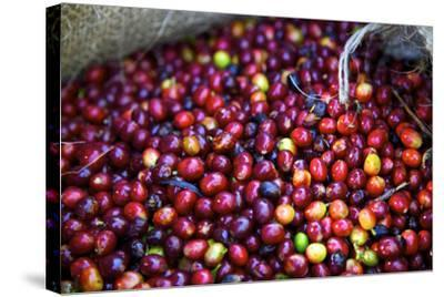 El Salvador, Central America. Carmen Organic Coffee Estate.-Connie Bransilver-Stretched Canvas Print