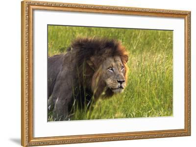Male Lion, Kruger National Park, South Africa-David Wall-Framed Photographic Print