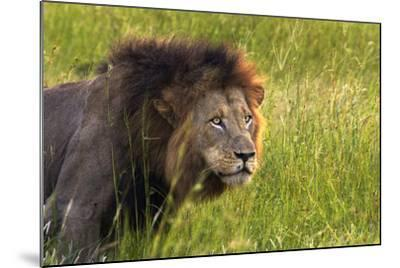 Male Lion, Kruger National Park, South Africa-David Wall-Mounted Photographic Print