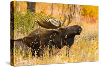 Moose bull in golden willows.-Larry Ditto-Stretched Canvas Print
