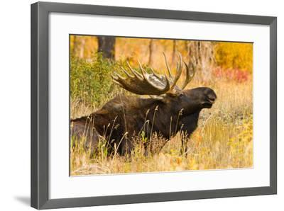 Moose bull in golden willows.-Larry Ditto-Framed Photographic Print