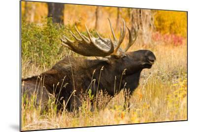 Moose bull in golden willows.-Larry Ditto-Mounted Photographic Print