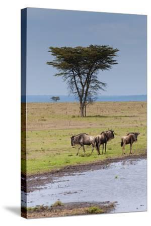Blue wildebeest, Maasai Mara National Reserve, Kenya-Nico Tondini-Stretched Canvas Print