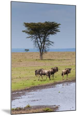 Blue wildebeest, Maasai Mara National Reserve, Kenya-Nico Tondini-Mounted Photographic Print
