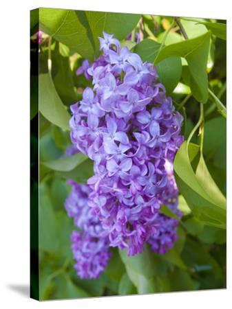 USA, Michigan. Blooming French Lilac.-Anna Miller-Stretched Canvas Print