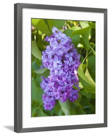 USA, Michigan. Blooming French Lilac.-Anna Miller-Framed Photographic Print