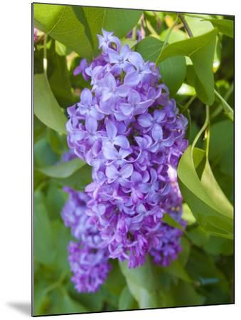 USA, Michigan. Blooming French Lilac.-Anna Miller-Mounted Photographic Print