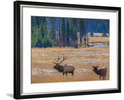USA, Colorado. Elk in Rocky Mountain National Park.-Anna Miller-Framed Photographic Print