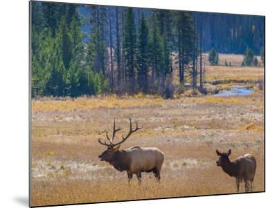 USA, Colorado. Elk in Rocky Mountain National Park.-Anna Miller-Mounted Photographic Print