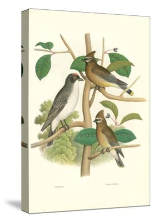 Ornithology Illustration--Stretched Canvas Print