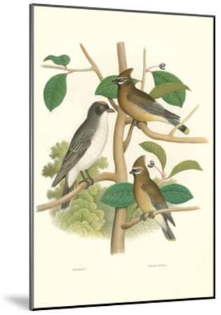Ornithology Illustration--Mounted Art Print