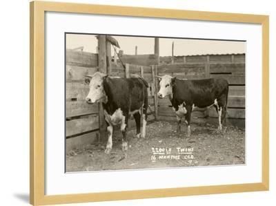 White-Faced Hereford Steer Twins--Framed Art Print