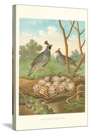 Valley Quail Nest and Eggs--Stretched Canvas Print