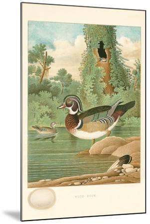 Wood Duck Nest and Eggs--Mounted Art Print