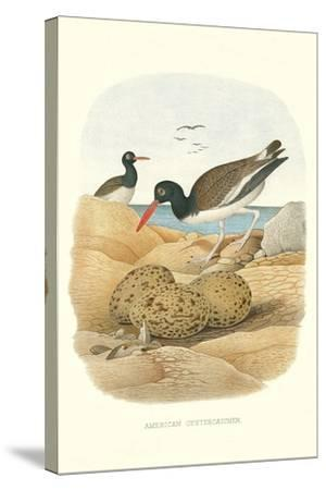 American Oystercatcher--Stretched Canvas Print