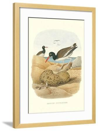 American Oystercatcher--Framed Art Print