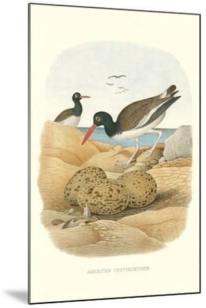 American Oystercatcher--Mounted Art Print