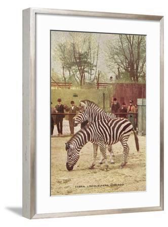 Zebras at Lincoln Park Zoo--Framed Art Print