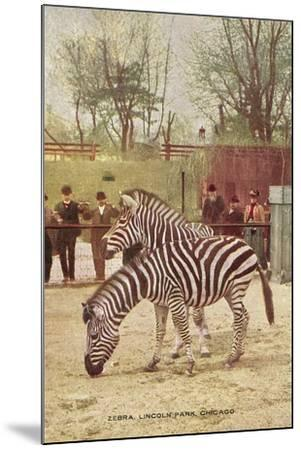 Zebras at Lincoln Park Zoo--Mounted Art Print