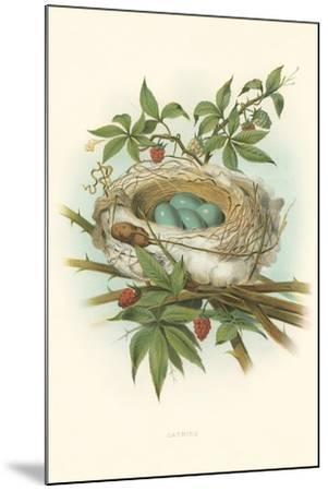Catbird Nest and Eggs--Mounted Art Print