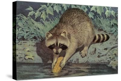 Raccoon Washing Corn--Stretched Canvas Print