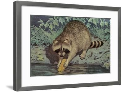 Raccoon Washing Corn--Framed Art Print